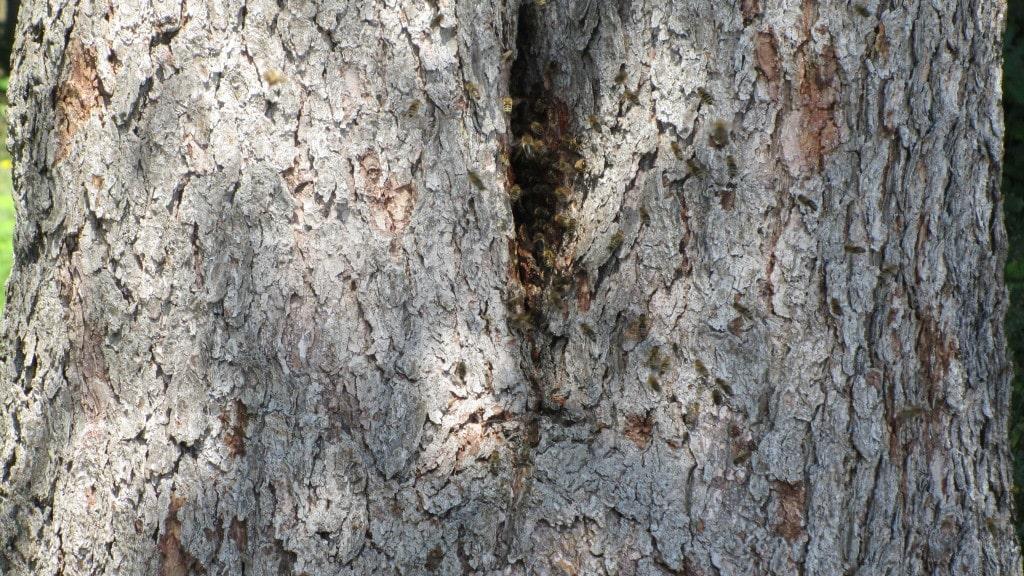Bienenstock im Baum